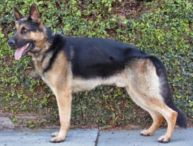 The German shepherd was stolen from a backyard in Hawthorne, California, on June 19