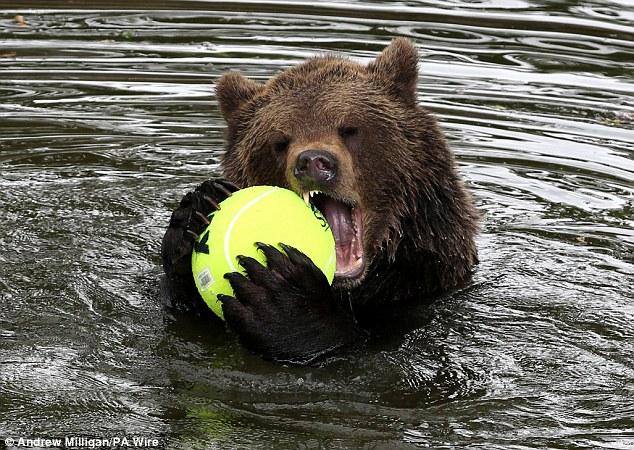 New balls please: Loki the brown bear sinks his teeth into a tennis ball