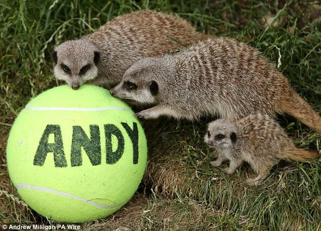 New fans: Animals at Blair Drummond Safari Park near Dunblane get behind local boy Andy Murray