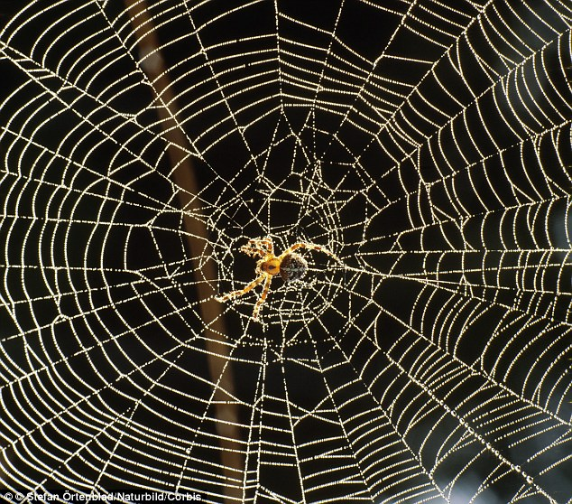 Deadly trap: A spider's web is 'electrically attracted' to a flying insect whose flapping wings which generate an electrical charge