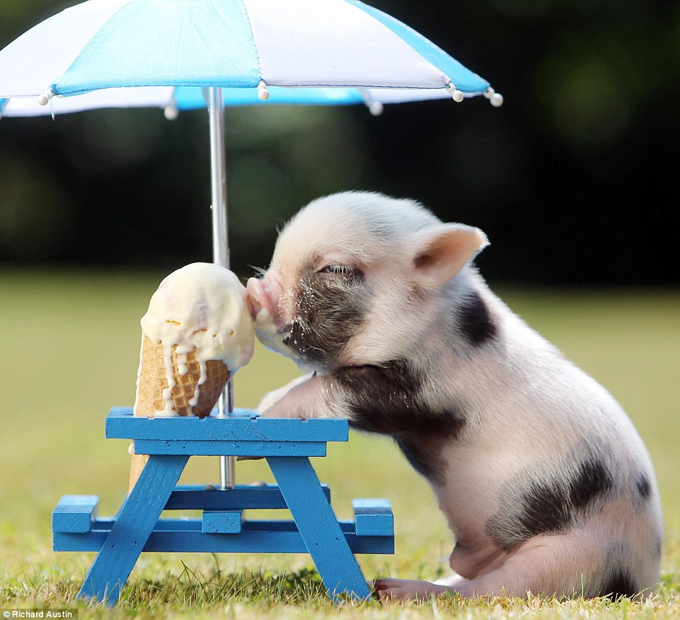 The little porker could not resist burying his snout in a tasty ice cream as he shaded himself from the sun under a parasol