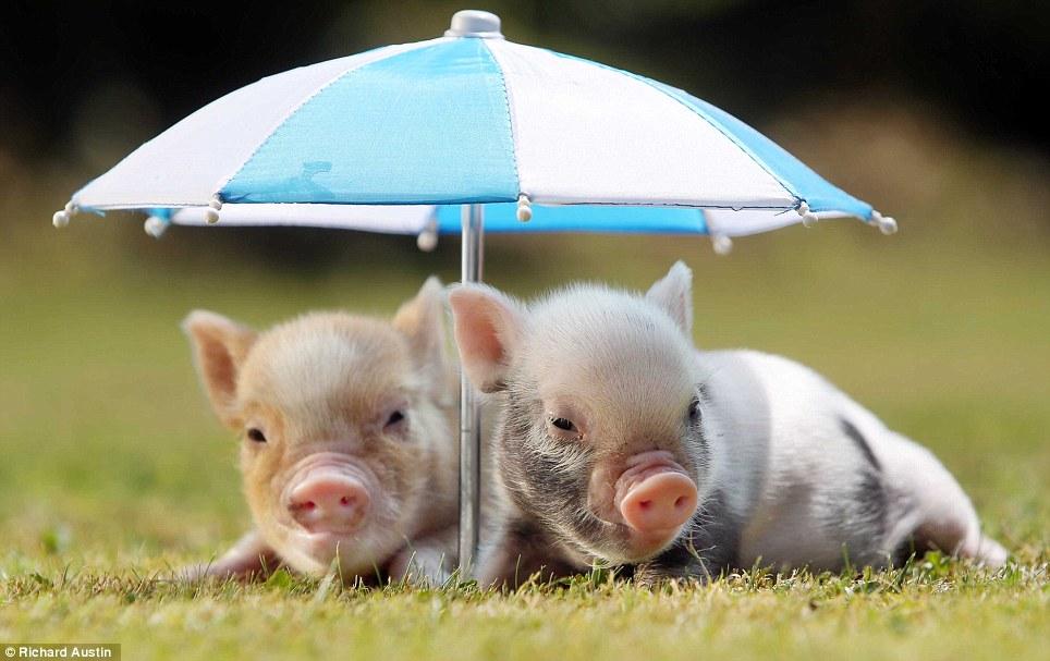 Miniature piglets keeping cool at Pennywell Farm in Buckfastleigh in Devon