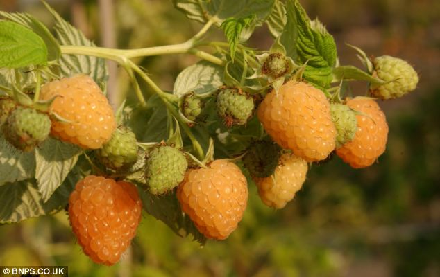 The East Malling Research Centre crossed a red raspberry plant with the yellow variety to make orange shades until they bred the perfect colour without the red pigmentation