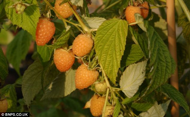 Botanists are celebrating after breeding a new species of raspberry that is set to transform the fruit salad thanks to its striking orange colour