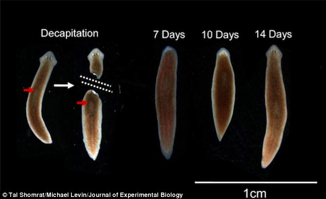 Researchers at Tufts University have discovered that not only can the planarian worm, pictured, regrow its own head if its decapitated, the new head contains old memories.