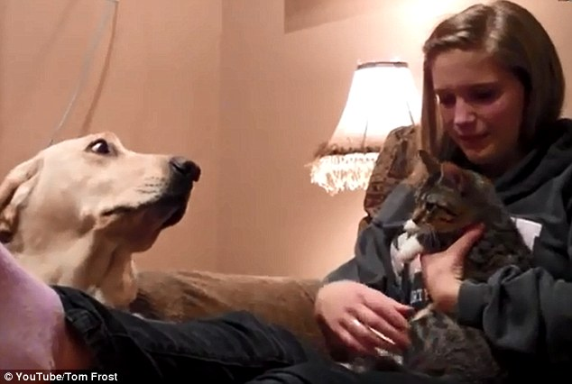 Fearful: The wide-eyed Labrador tries to get a closer look at the kitten