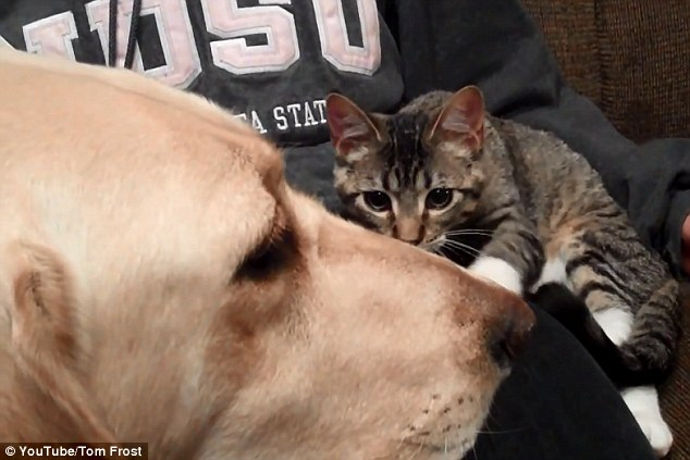 Fearless: The kitten creeps in for a closer look at the Labrador