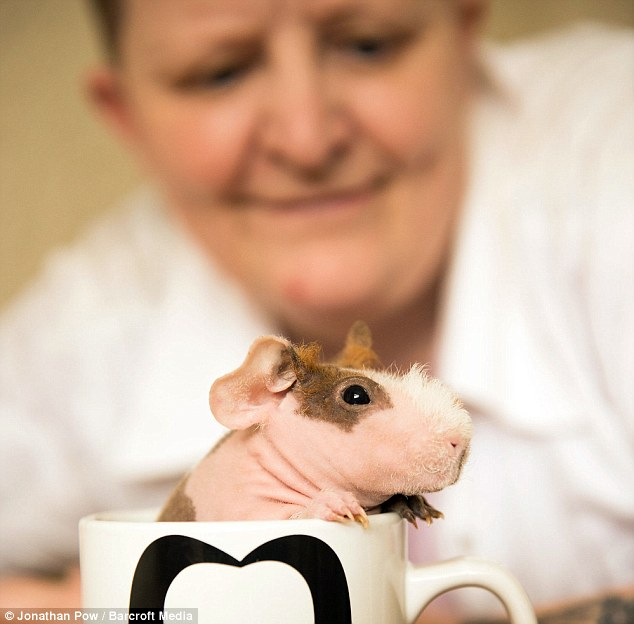 Diane Wright with her skinny pig Honey who climbs out of a mug. She kits jumpers for her guinea pigs