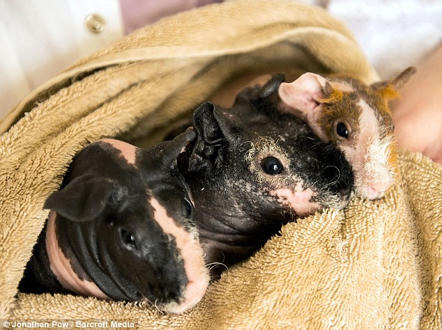 Diane's bald breed skinny pigs, from left, Minstrel, Lily and Honey after having a bath