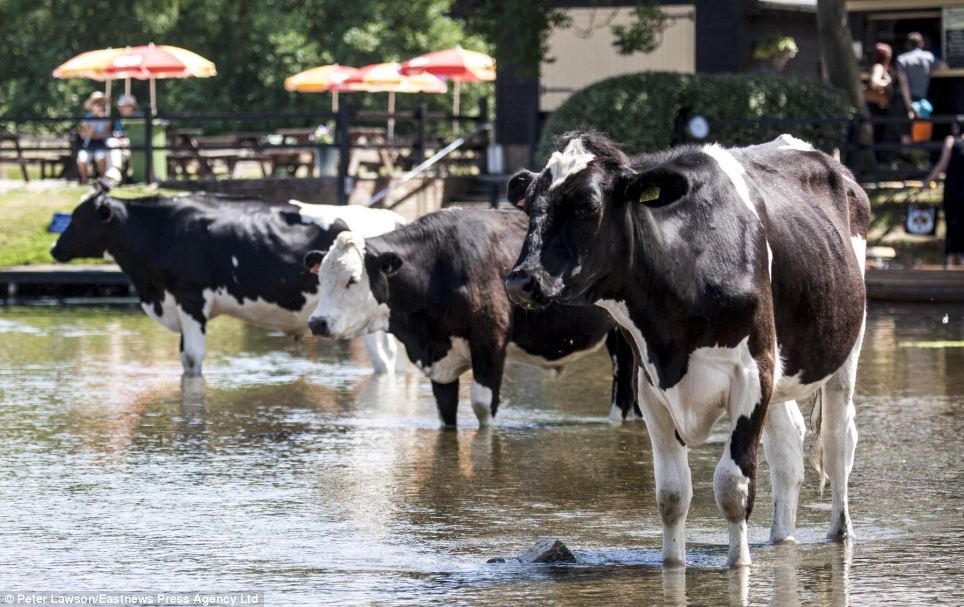 Even the cows need a little cooling off: These cows dipped their hooves in Dedham, Essex as Britain continues to bask in the sun as temperatures soar to 30C