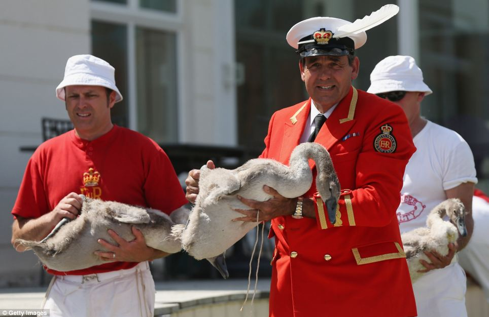 Swan Upping is the annual census of the River Thames' swan population is led by David Barber, The Queens Swan Marker, beginning in Sunbury and ending at Abingdon, Oxfordshire