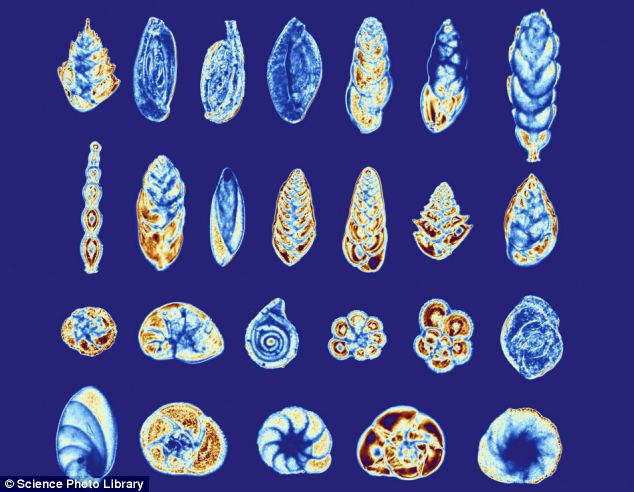 Amoeba-like foraminifera (pictured) that inhabit shells suddenly populated the north Pacific ocean 14,000-years ago