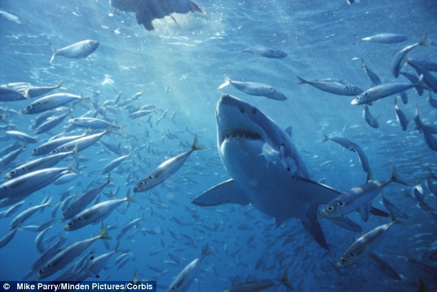 Predator: The shark swam off with part of the girl's body which workers are still trying to retrieve