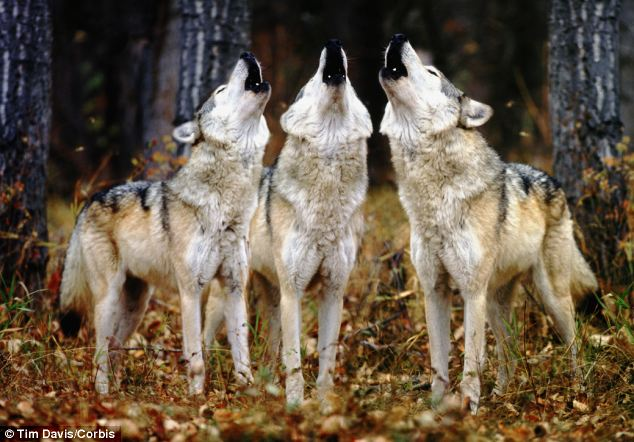 Researchers found that each wolf has its own 'singing voice' that allows it to be picked out in a chorus of cries