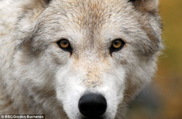 Nottingham Trent University scientists have created a computer programme that analyses the volume and pitch of a howl to identify its owner