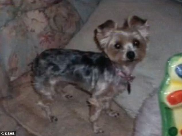 Self-defense? A man stepped on and killed this 6-pound Yorkie named Precious and claims it was in self-defense and in defense of his Labrador