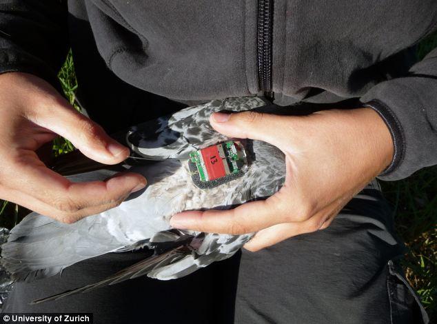 GPS on homing pigeon