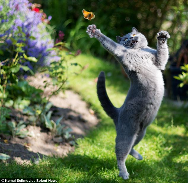 At full stretch: Misha, a blue British Shorthair, kept her eye on her tortoiseshell butterfly target as she tried to swat it with her paw