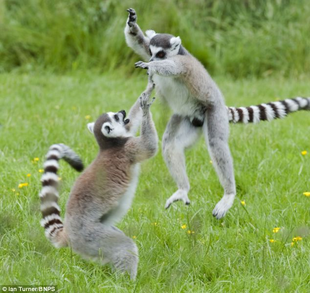 Their keeper joked that the lemurs' confrontation looked like something from a Jackie Chan film