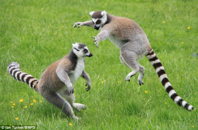 Ring-tailed lemurs at Longleat Safari Park in Wiltshire woke up from a nap and decided to work off a bit of energy in a play fight