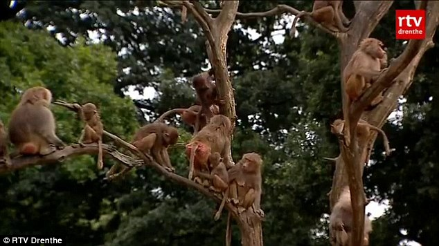 Theories: The baboons at the zoo have been sitting motionless in trees or on the ground at the zoo