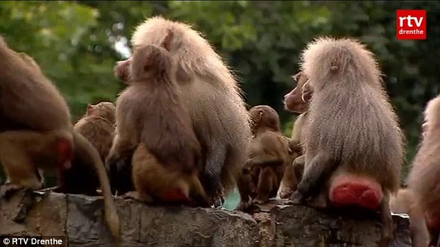 'Hysterical': The baboons at the zoo in the northern Netherlands have been turning their backs to visitors this week