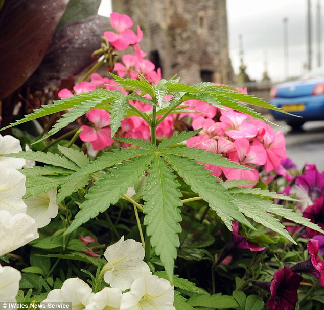 Council workers had been feeding and watering the plants, ensuring that they are now blooming
