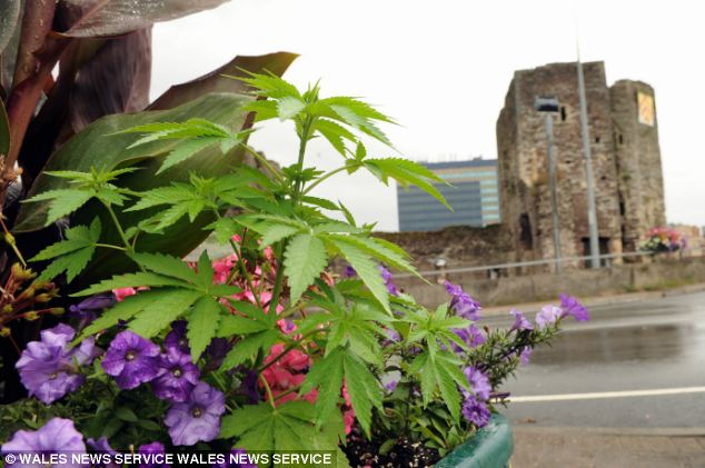 Cannabis plants were put into floral displays in Newport, South Wales