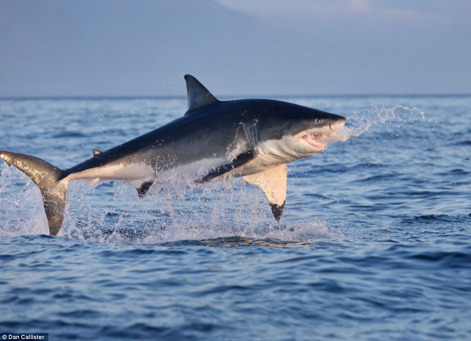 Leap: A Great White hurls itself out of the water as it attempts to grab a Cape Fur seal in the waters around Seal Island