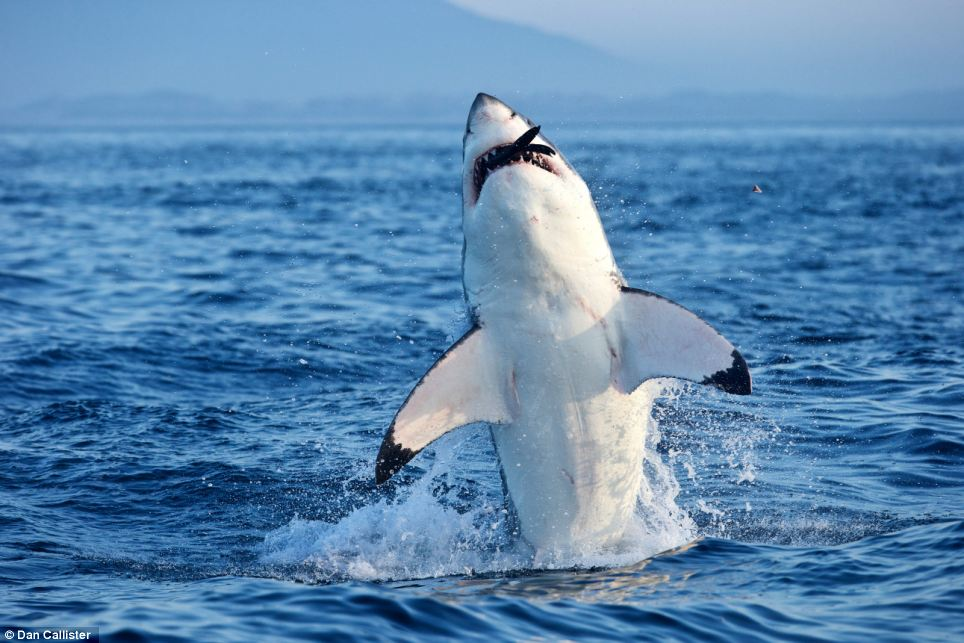 Deadly: Great White sharks circle the waters around Seal Island creating a 'Ring of Death'