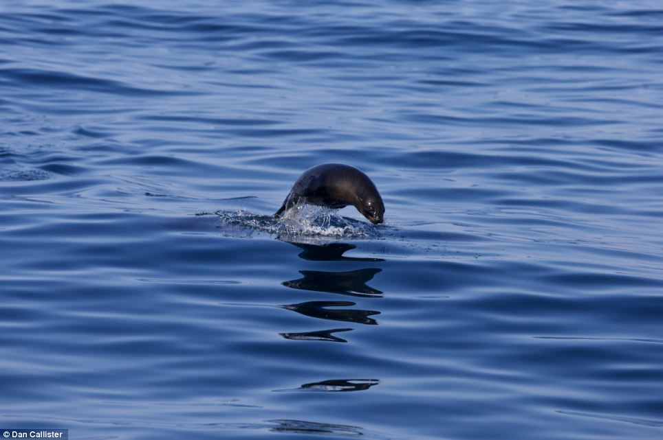 Danger: Seals on the surface are far more likely to be picked off by the circling sharks than those who stick to the murkier waters near the sea floor
