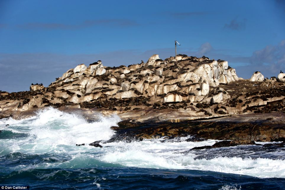 Packed: Sharks are attracted to Seal Island at certain times of the year when the Cape Fur seal population peaks