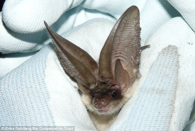 Bats in the UK are protected by law ¿ it is illegal to harm a bat, or to destroy or interfere with a bat roost