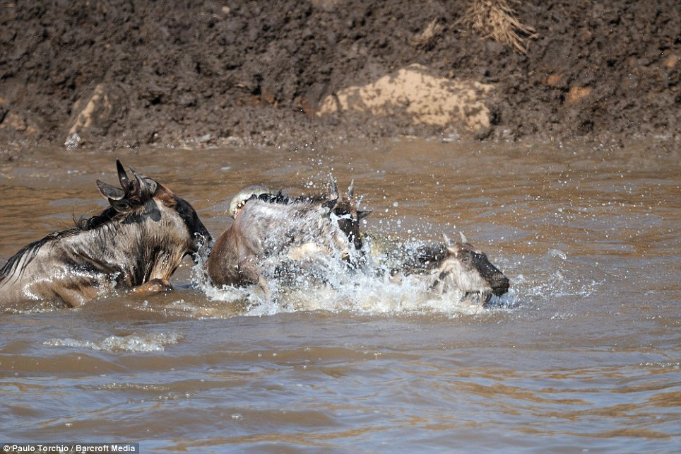 Fight for survival: The wildebeest do their best to escape the clutches of the crocodile