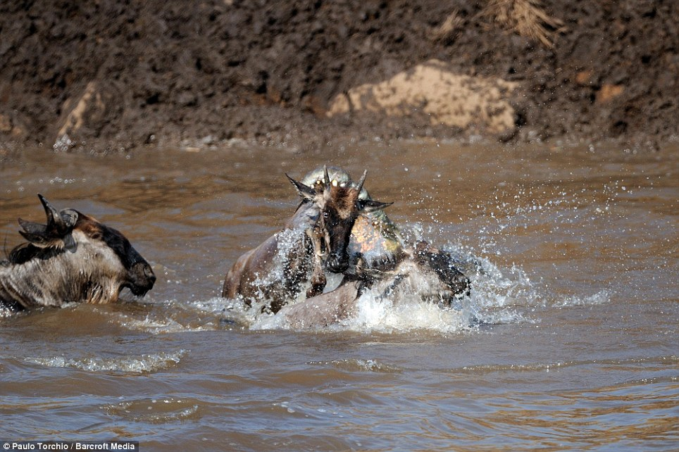 Targets: Two wildebeests find themselves directly in the path of the crocodile