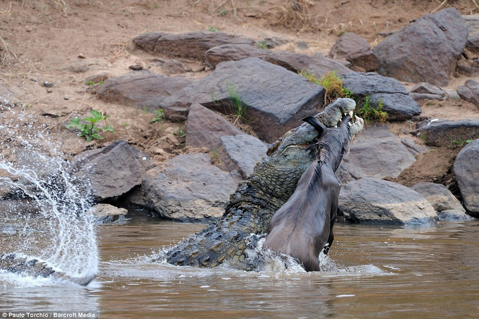 Captured: The Nile crocodile catches the Wildebeest in its jaws in the Mara River in Narok, Kenya
