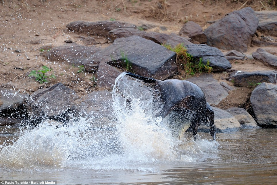 Escape attempt: A wildebeest desperately tries to escape as a crocodile leaps out of the water into its path