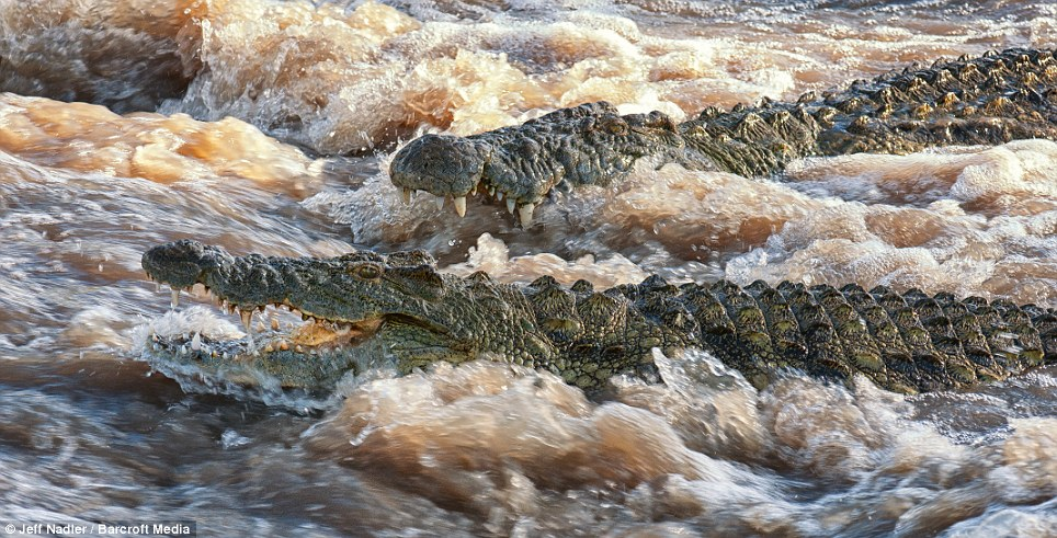 Strong swimmers: Two crocodiles swim against the current of the Grumeti River in Tanzania - which boasts some of the largest crocodiles in Africa