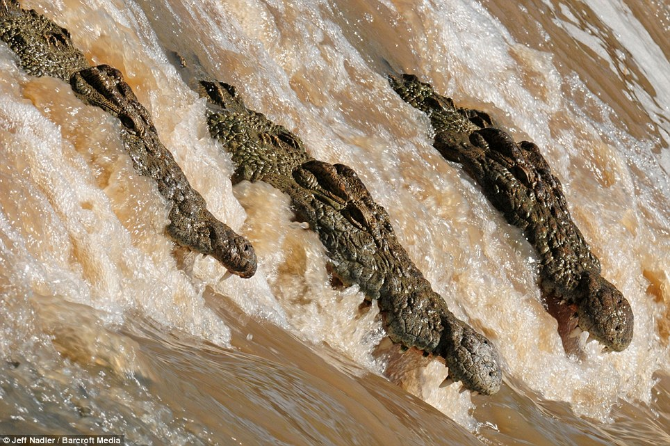 Hungry: Three crocodiles line up in the Grumeti River, Tanzania, with their mouths open to try and catch fish