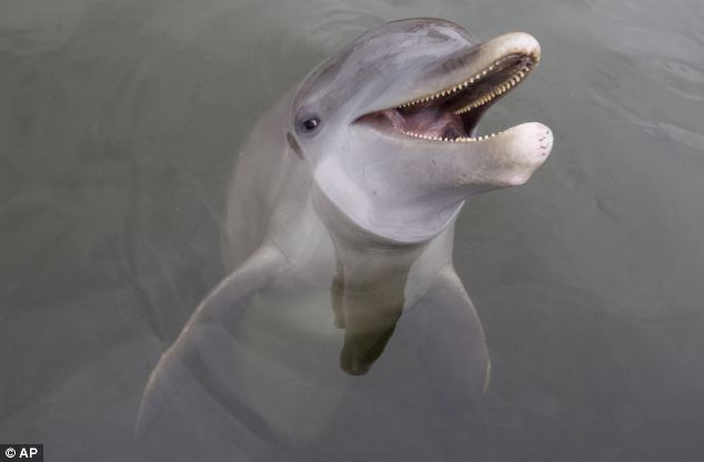 Further testing is needed to see if other dolphins can imitate as well as Tanner (pictured)