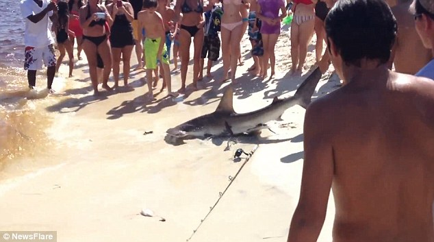 Pups: As the shark writhed on the sand onlookers spotted the litter of tiny pups