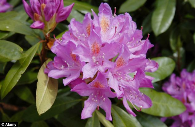Pet owners have been warned flowers including rhododendrons can be harmful to their animals