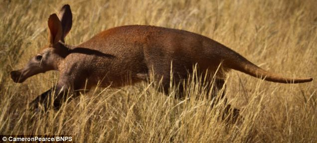 Anteater antics: The animals were spotted at the Tswalu Kalahari, a private game reserve in South Africa that spreads over more than 100,000 hectares