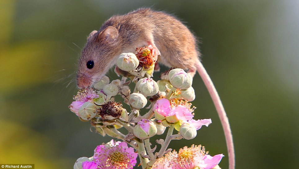 Roam free: Harvest Mice are Britain's smallest rodent and are in danger of dying out if more aren't let back to their natural habitat