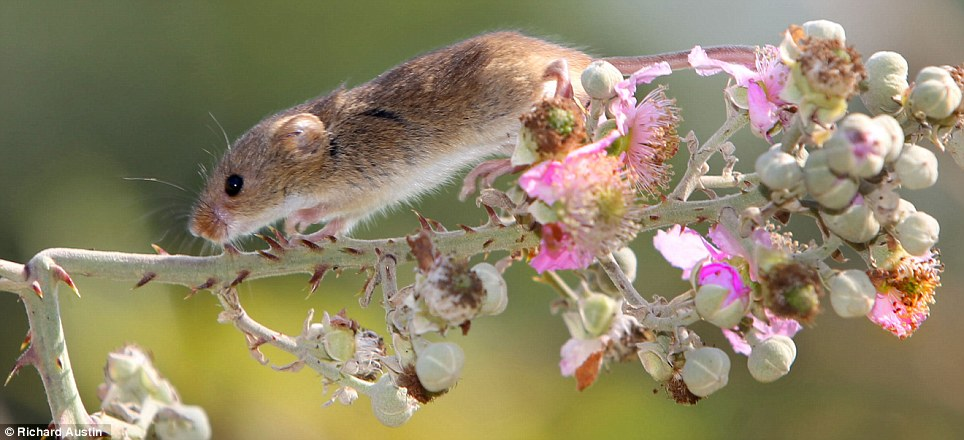 A harvest mouse enjoys the warm weather after being released back into the wild in Somerset