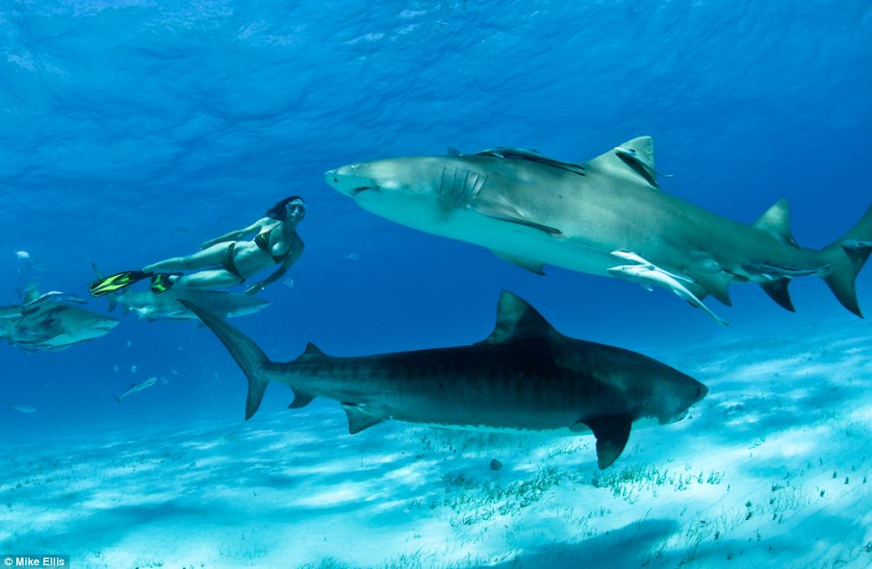 Double trouble: The incredible shots were taken off Tiger Beach in the Bahamas where there is still a relatively high number of tiger sharks