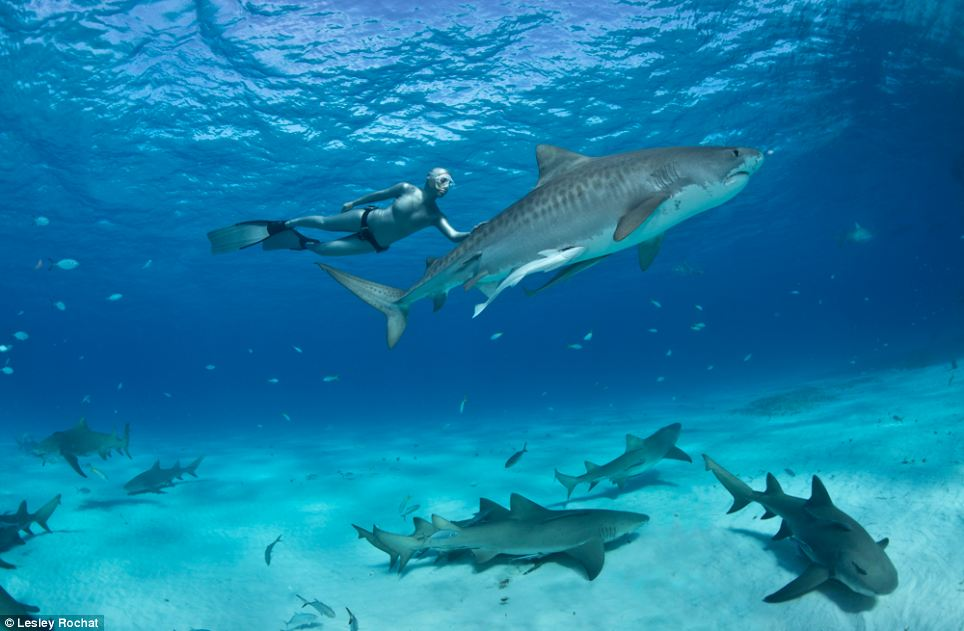 Campaigning: The conservationist wants to raise awareness of the harm shark nets do to the magnificent creates