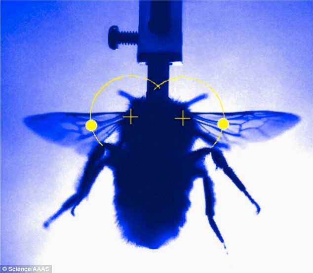 The researchers filmed live bumblebees at 500 frames per second