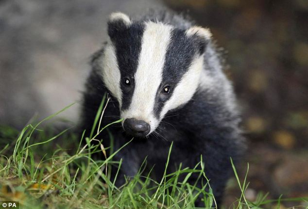 5,000 badgers could be killed in two trials culls