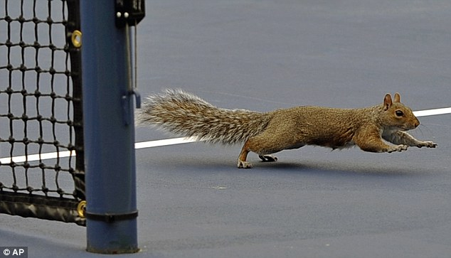 Are you nuts?! A squirrel crosses the court during the first round of play at the 2013 U.S. Open tennis tournament